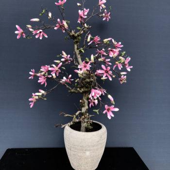 ster magnolia