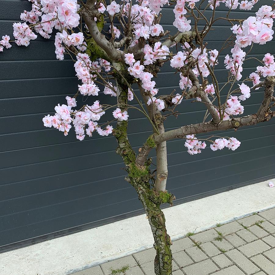 roze bloesemboom kunst